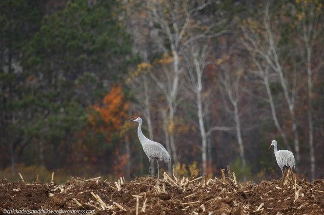 Sandhill Cranes foraging for food in a Minnesota farm field.