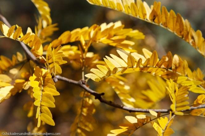 Leaves of the Honey Locust Tree in autumn.