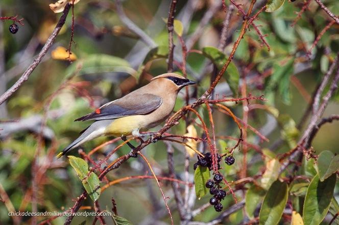 Cedar-Waxwing-Bird
