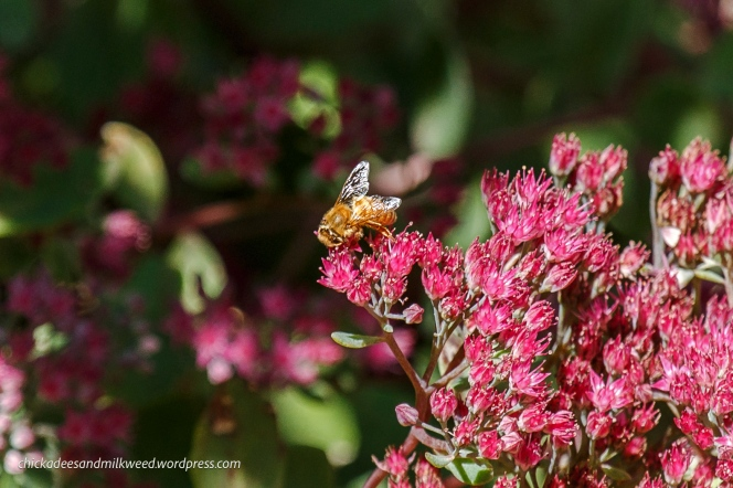 Honey-Bee-Sedum