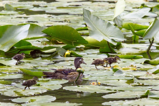 Wood-Duck-Ducklings-Lily-Pads-1