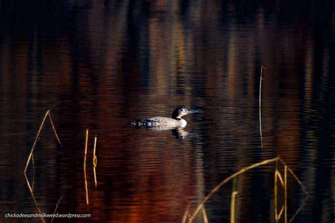 Lake-Common-Loon