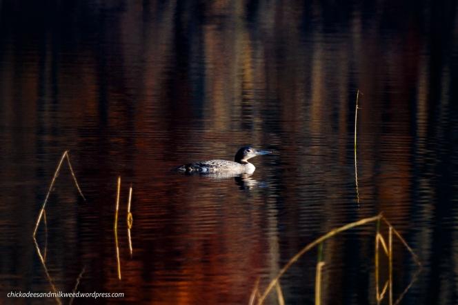 Lake-Common-Loon