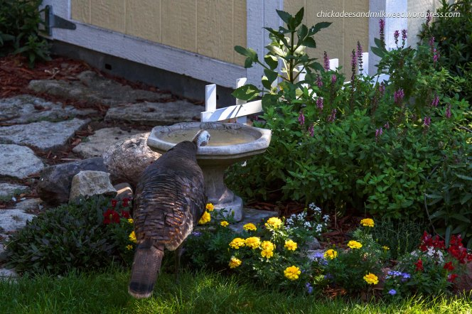Wild-Turkey-Bird-Bath-2