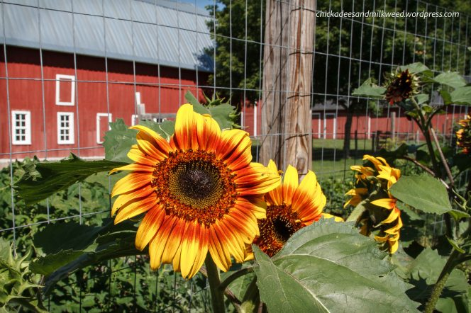 Farm-Sunflowers-Garden