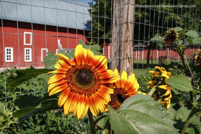 Farm-Sunflowers-Garden