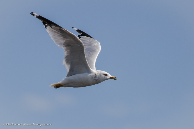 Ring-Billed-Gull-Seagull