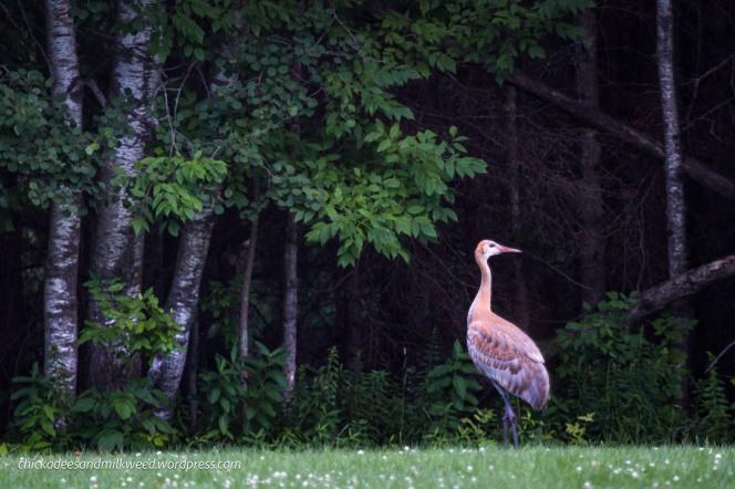 Sandhill-Crane-Juvenile
