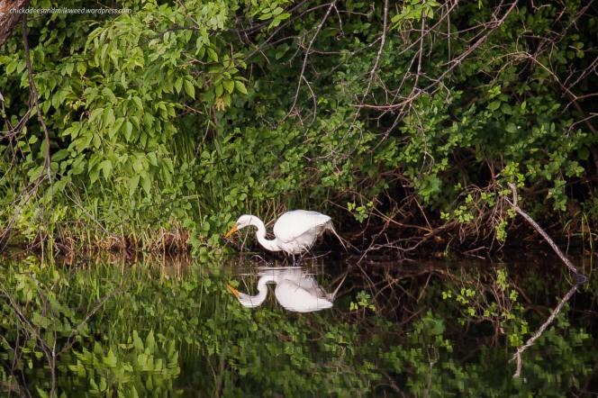 White-Egret-Wetland-Pond