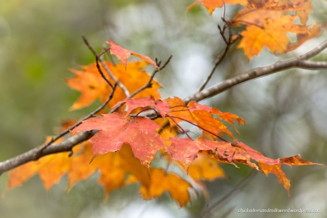autumn-leaves-maple