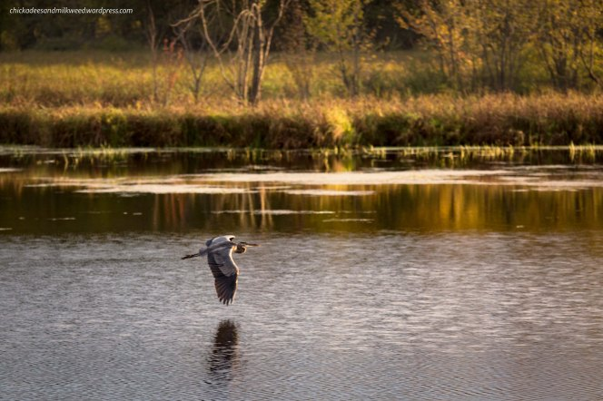 blue-heron-flying-lake