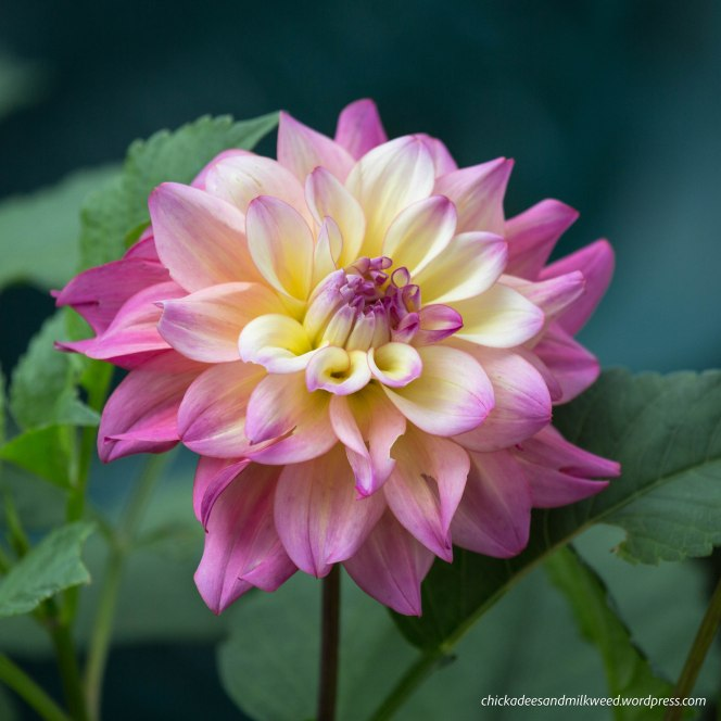 flower-dahlia-autumn