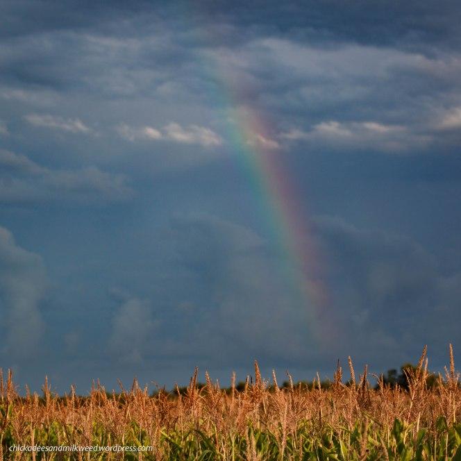 rainbow-golden-cornfield