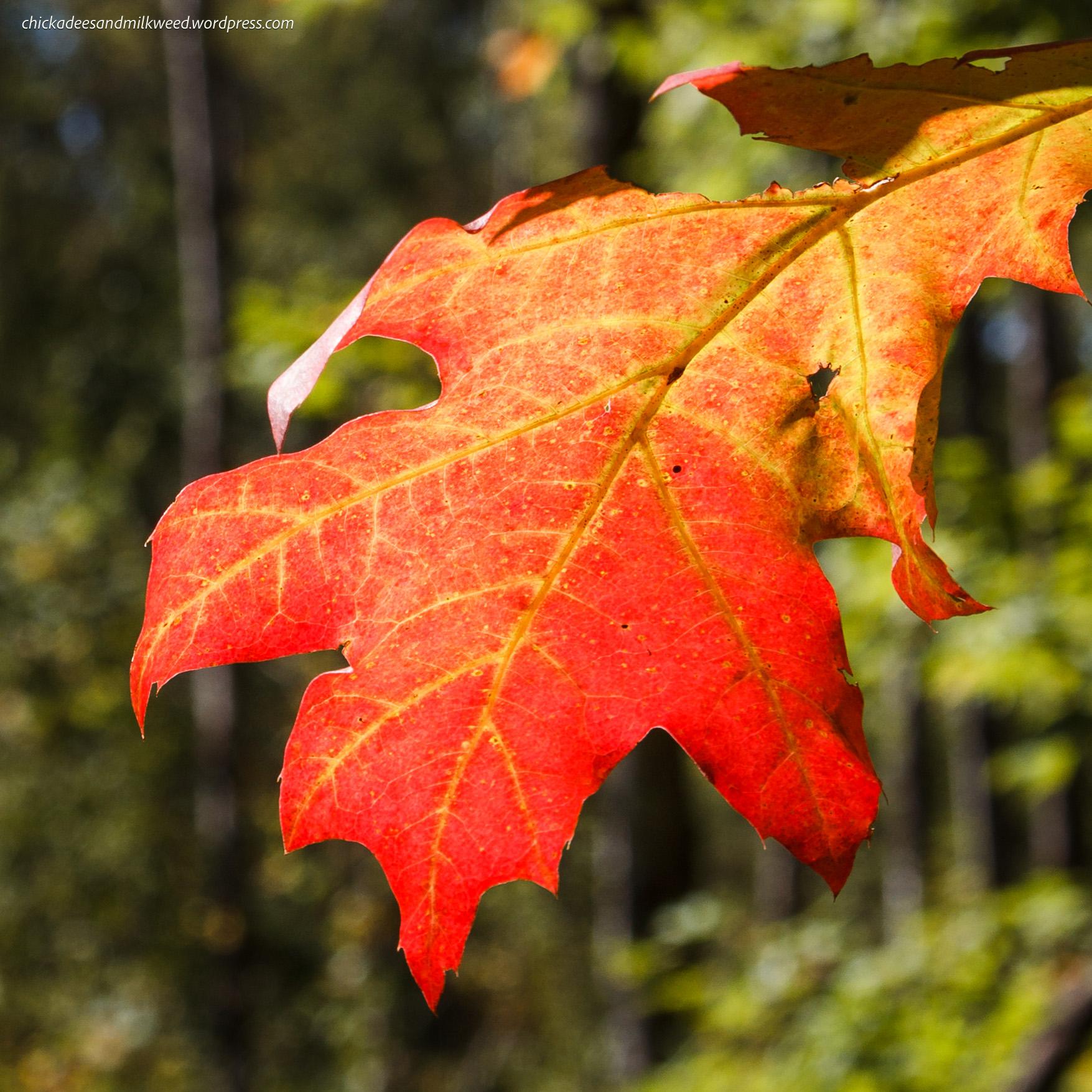 Red oak leaf chickadees and milkweed
