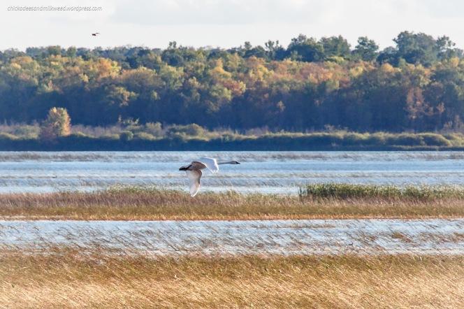 swan-wild-rice-refuge